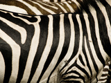 A Pattern of Stripes on a Burchell's Zebra.  Kenya. Photographic Print by Karine Aigner