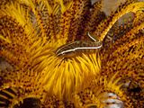 Crinoid Clingfish Perched at Home..Shot in Indonesia Photographic Print by Jeff Yonover