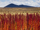Red Quinoa Is Ripe and Ready to Harvest  on Bolivia's High-Altit Photographic Print by Sergio Ballivian
