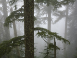 Coniferous Forest in Fog, Mount Baker-Snoqualmie National Forest, Washington. Photographic Print by Ethan Welty