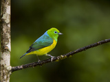 A Male Blue-Naped Chlorophonia (Chlorophonia Cyanea) in Brazil's Atlantic Rainforest Photographic Print by Neil Losin