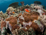 Tomato Anemonefish and Orangefin Anemonefish on Large Anemone Colonies. Photographic Print by Andy Lerner