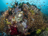 Golden Sweepers Swarm a Coral Bommie with Sponges and Feather Stars..Shot in Indonesia Photographic Print by Jeff Yonover