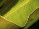 Detail of Banana Leaf at Sarah P. Duke Gardens in Durham, North Carolina Photographic Print by Melissa Southern