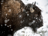 Yellowstone National Park, Wyoming: American Bison in Snow Storm. Photographic Print by Ian Shive
