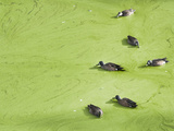 Jacksonville, Fl:  Ducks Swim Through an Algae Covered Pond While Feeding Photographic Print by Brad Beck