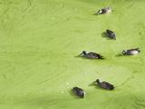 Jacksonville, Fl:  Ducks Swim Through an Algae Covered Pond While Feeding Photographic Print by Brad Beck