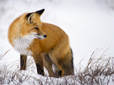 Red Fox Looking Back Photographic Print by Mike Cavaroc