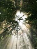 Spiritual Image of Sun Beams Shining Through Trees and Fog. Reprodukcja zdjęcia autor Larry Patterson