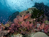 Fiji Reef Scene with Gorgonians, Schools of Anthias and Coral Grouper. Photographic Print by Andy Lerner