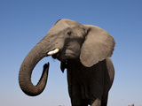 Close Up Portrait of an African Elephant on a Clear Blue Sky.  Hwange National Park, Zimbabwe Photographic Print by Karine Aigner