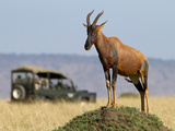 A Topi Stands Tall on a Termite Mound in the Masai Mara as Tourists Look On. Photographic Print by Karine Aigner