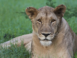 Portrait of a Wild Lioness in the Grass in Zimbabwe. Photographic Print by Karine Aigner