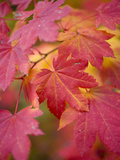 Image of Maple Tree in Fall. Photographic Print by Justin Bailie