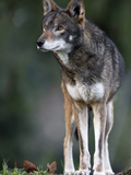 A Lone Red Wolf Looking Away from Camera. Photographic Print by Karine Aigner