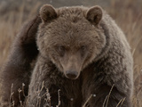 Grizzly Scratch Photographic Print by Steven Gnam