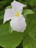 Large Flowered Trillium in Great Smoky Mountains National Park in Tennesse Photographic Print by Melissa Southern