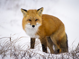 Red Fox Looking Out Photographic Print by Mike Cavaroc