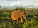 A Wild African Elephant Grazing at Sunset at Tarangire National Park in Tanzania Photographic Print by Kyle Hammons