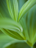 Detail of Corn Lilly Photographic Print by Ethan Welty