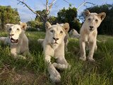 A Young Pride of Male and Female White Lions in the Grass.  South Africa. Fotografie-Druck von Karine Aigner