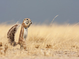 Portrait of a South African Ground Squirrel Photographic Print by Karine Aigner
