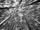 Black and White Aspen Tree Forest. Photographic Print by Patrick Brooks Brandenburg