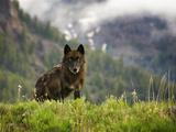 Canyon Pack Alpha Female Wolf of 2009 Reprodukcja zdjęcia autor Mike Cavaroc