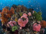 Profusion of Marine Life ..Shot in Indonesia Photographic Print by Jeff Yonover
