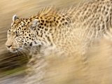 A Female Leopard Stalking Her Prey in Blurred Motion. Photographic Print by Karine Aigner