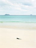 A Marine Iguana Strolls Along the White Sand Beach on Isla Santa Cruz in the Galapagos Islands Photographic Print by Greg Endries