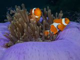Magnificent Anemone with Clown Anemonefish and Commensal Shrimps..Shot in Indonesia Lámina fotográfica por Jeff Yonover