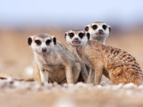 Three Curious Adult Meerkats at the Edge of their Family Den Pose for the Camera.  Botswana. Photographic Print by Karine Aigner