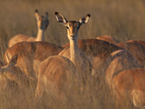 Portrait of One Alert Female Impala with Her Head Up Out of the Herd. Photographic Print by Karine Aigner