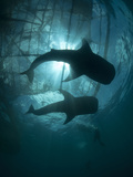 Whale Sharks of Cenderawasih Bay..Shot in Indonesia Photographic Print by Jeff Yonover
