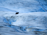 Black Bear Wandering around Glacier in Glacier Bay National Park, Ak. Photographic Print by Justin Bailie