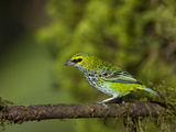 A Speckled Tanager (Tangara Guttata) at Las Cruces Biological Station, Costa Rica. Photographic Print by Neil Losin