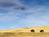 Bison Walking over Prarie Hills Photographic Print by Mike Cavaroc