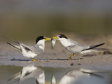 Two Least Terns Exchange a Fish as Part of Courtship in a Coastal Wetland in Florida Photographic Print by Neil Losin