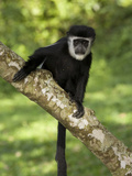 A Mantled Guereza (Colobus Guereza) in Kibale National Park, Uganda. Photographic Print by Neil Losin
