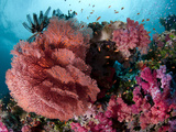 Fiji Reef Scene with Soft Corals, Gorgonans, and Schools of Anthias. Photographic Print by Andy Lerner