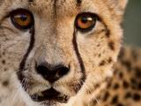 Close Up Portrait of a Cheetah. Reprodukcja zdjęcia autor Karine Aigner