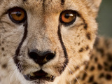 Close Up Portrait of a Cheetah. Fotografie-Druck von Karine Aigner