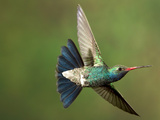 A Humming Bird in Mid Air. Photographic Print by Karine Aigner