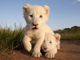 Portrait of Two White Lion Cub Siblings, One Laying Down and One with it's Paw Raised. Fotografisk tryk af Karine Aigner