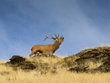 A Large Red Deer  (Cervus Elaphus) Stag Bellows Loudly  on a Tus Photographic Print by Sergio Ballivian