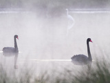 A Pair of Black Swans (Cygnus Atratus) Swims in a Wetland in Western Australia. Photographic Print by Neil Losin