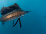 Atlantic Sailfish Hunt and Feed on Sardine Schools Off the Coast of Mexico. Photographic Print by Andy Lerner