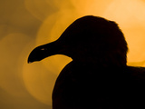 A Western Gull (Larus Occidentalis) Silhouetted at Sunrise on the Southern California Coast. Photographic Print by Neil Losin