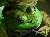 Close Up of Green Bull Frog. Photographic Print by Daniel Gambino